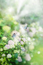 Hortensia flower with bokeh background Stock Image