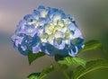 Hortensia flower hydrangeas are popular ornamental plants grown for their large flowerheads Royalty Free Stock Photos