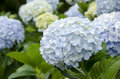 Hortensia group hydrangea hydrangea macrophylla thunb ser a flower that looked quite comfortable because the color of the flower Royalty Free Stock Image