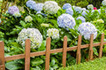 Hortensia group hydrangea hydrangea macrophylla thunb ser a flower that looked quite comfortable because the color of the flower Stock Image