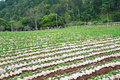 Horticulture areas for planting long rows Stock Photo