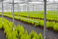 Horticulture with cupressus in a greenhouse Royalty Free Stock Photo