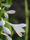 Hosta flower and buds