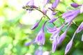 Hosta flowers closeup