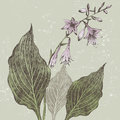 Hosta hand drawn flower in retro style Stock Photos
