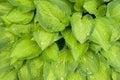 Hosta leafs