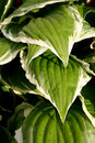 Hosta Leaves Stock Photo