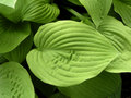 Hosta leaves Royalty Free Stock Image