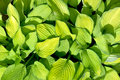 Hosta Royalty Free Stock Photo