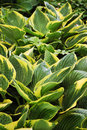 Hosta plant Royalty Free Stock Photo