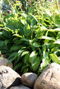 Hostas minor also known as plantain lilies giboshi Royalty Free Stock Photos