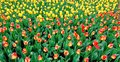 Hot- colored spring tulips Royalty Free Stock Photo