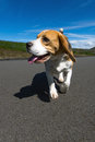 Hot dog a beagle walking in the warm summer sun Stock Images