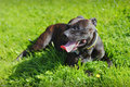 Hot panting dog staffordshire bull terrier on grass Royalty Free Stock Image