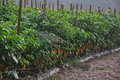 Hot Pepper Farm Royalty Free Stock Photos