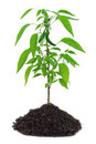 Hot pepper plant Stock Photography