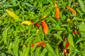Hot peppers on the plant Royalty Free Stock Photo