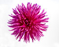 Hot pink dahlia Royalty Free Stock Photo