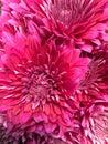 Hot pink daisies Royalty Free Stock Photo