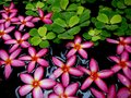 Hot Pink Flowers Floating In W...