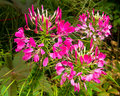 Hot pink spider plant lipstick flowers of the cleome Stock Images