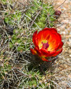 Hot red cactus flower orange of a hedgehog or claret cup echinocereus triglochidiatus in a desert landscape in texas Stock Image