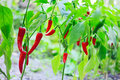 Hot red chilli pepper husks growing Royalty Free Stock Photo