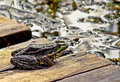 A hot summer day a frog   on the lake. Royalty Free Stock Photo