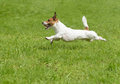 Hot summer dog days. Active terrier running quickly Royalty Free Stock Photo