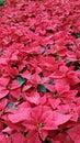 Hothouse poinsettias seasonal poinsettia plants ready for christmas season Royalty Free Stock Images