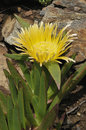 Hottentot Fig Royalty Free Stock Image