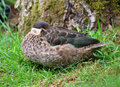 Hottentot teal duck anas hottentota in grass Royalty Free Stock Image