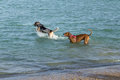 Hound dog leaping in water with another standing by