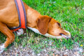 Hound Dog Sick After Sprayed by Skunk Royalty Free Stock Photo