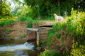 The hound on hunting labrador retriever near river watching for prey Royalty Free Stock Images