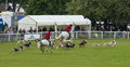 Hounds chasing around arena at Royal Bath and West show 2014