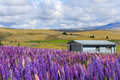 House behind flower field a farm surrounded by colourful lupine in new zealand Royalty Free Stock Photos