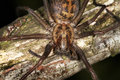 House or Cobweb Spider. Royalty Free Stock Photography