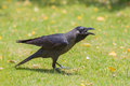 House crow is on the green grass and invites girlfriend Royalty Free Stock Photo