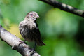 House Finch with Avian Conjunctivitis Disease Royalty Free Stock Photo