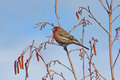 House Finch (Carpodacus mexicanus) Royalty Free Stock Image