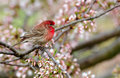 House finch in cherry tree Royalty Free Stock Photo