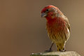 House finch on a fencepost perched Royalty Free Stock Photos