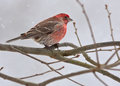 House finch haemorhous mexicanus perched on a branch Stock Photos