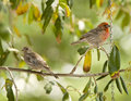 House Finch-Male & Female Stock Photos
