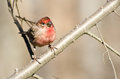 House Finch Perched on a Branch Stock Photography