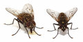 House flies on white a couple of common fly Stock Images