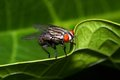 A house fly Royalty Free Stock Photography
