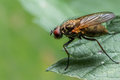 House Fly on Green Leaf Royalty Free Stock Photo