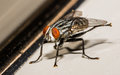 House Fly Kicking Out Back Legs Royalty Free Stock Photo